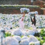 Những bông hoa Cẩm Tú Cầu đẹp đến nao lòng