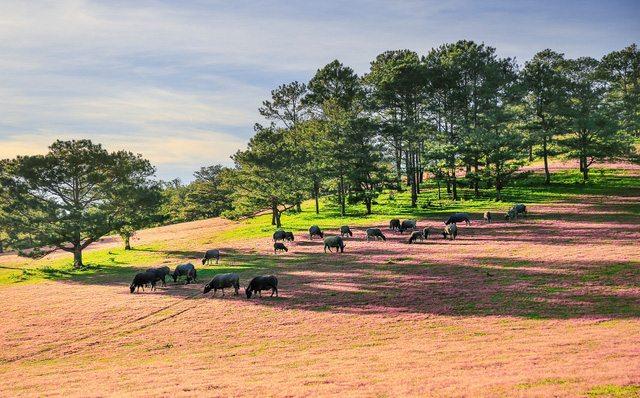 Phong cảnh nên thơ của đồi cỏ hồng