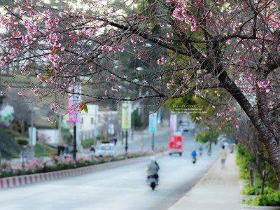 Lễ hội hoa Mai Anh Đào Đà Lạt 2018 - datphongdalat.vn-9