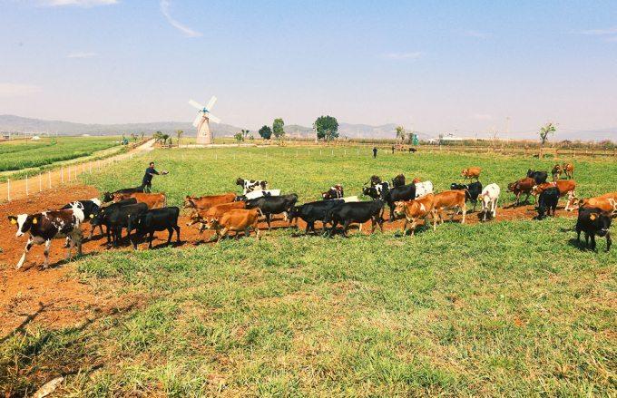 Nông trường bò sữa Vinamilk-Organic-Milk-Farm-Đà Lạt-datphongdalat.vn-7