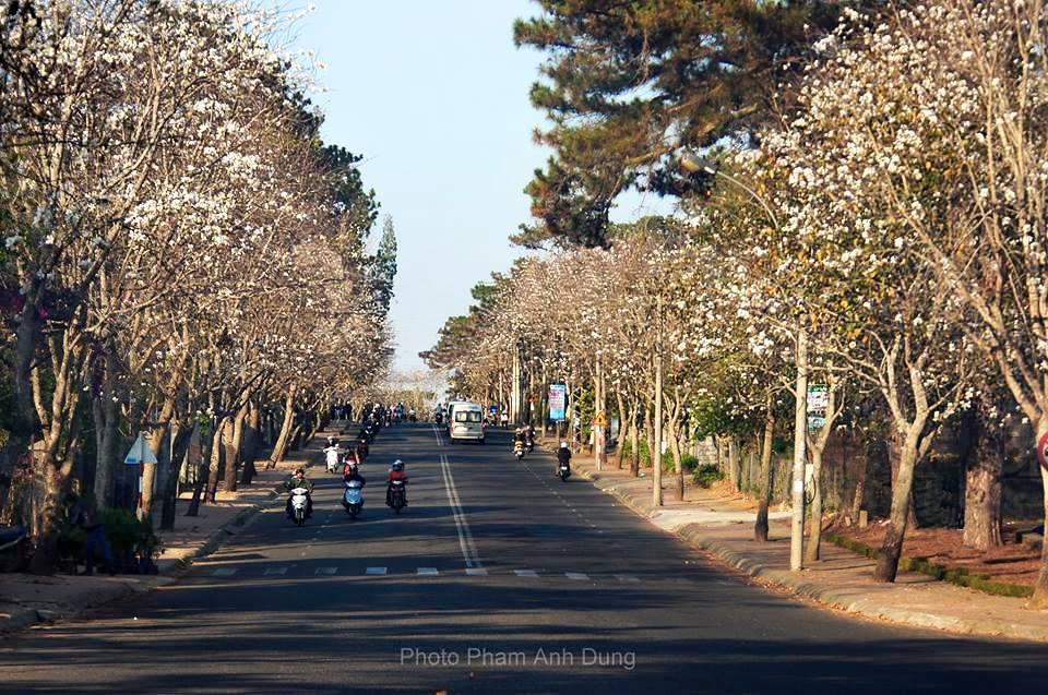 Tuyến đường hoa Ban Quang Trung Đà Lạt - Du lịch Đà Lạt tháng 1 - datphongdalat.vn -02