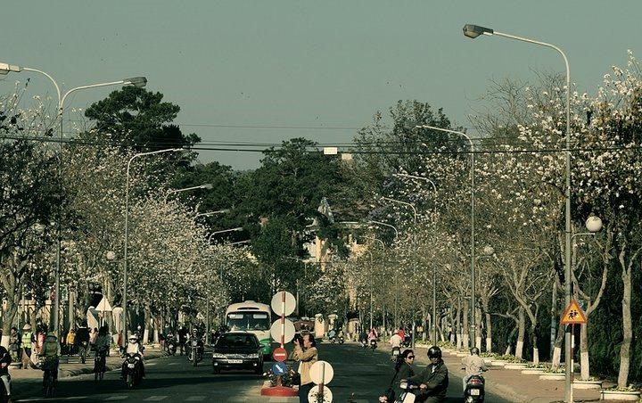 Hoa Ban trắng Đà Lạt - mùa hoa Đà Lạt - datphongdalat.vn-06