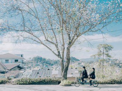 Hoa Ban trắng Đà Lạt - mùa hoa Đà Lạt - datphongdalat.vn-05