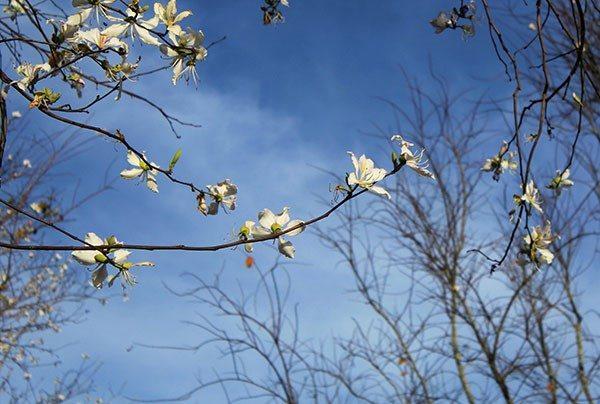 Hoa Ban trắng Đà Lạt - mùa hoa Đà Lạt - datphongdalat.vn-04