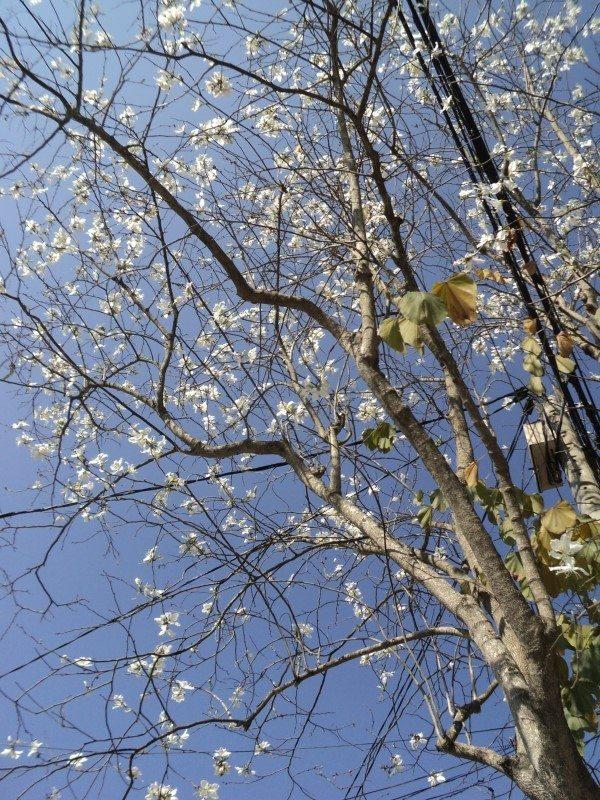 Hoa Ban trắng Đà Lạt - mùa hoa Đà Lạt - datphongdalat.vn-03