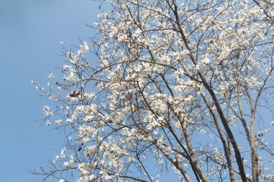 Hoa Ban trắng Đà Lạt - mùa hoa Đà Lạt - datphongdalat.vn-02