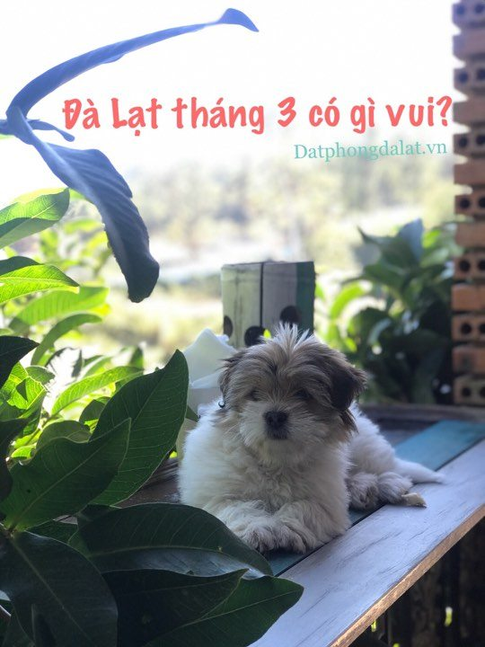 Du Lich Da Lat thang 3 - Mua hoa phuong tim Da Lat - datphongdalat.vn-6
