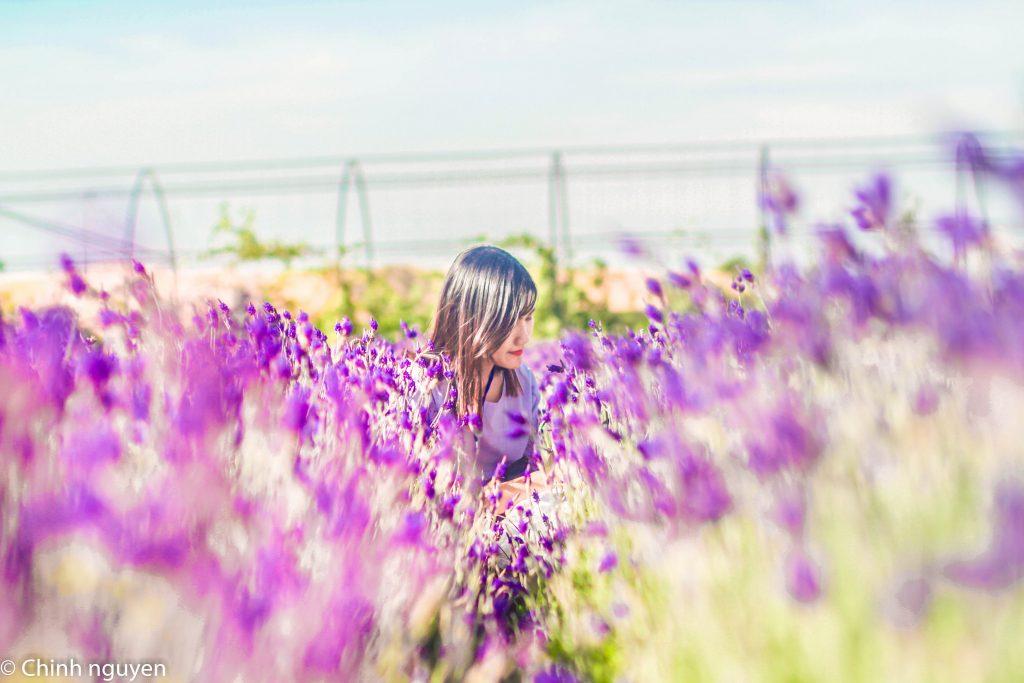 cánh đồng hoa Oải Hương Lavender Đà Lạt - tour Da Lat 1 ngay - datphongdalat.vn -01