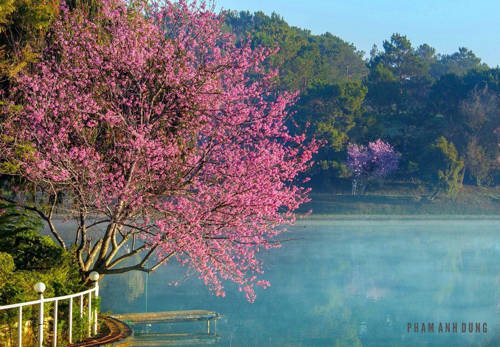 Hoa Mai Anh Đà Lạt nở rực rỡ vào mùa Xuân