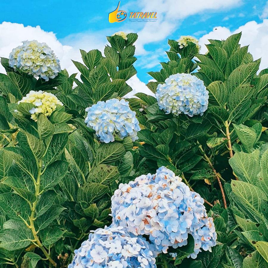 Vườn hoa Cẩm Tú Cầu Đà Lạt – Thiên đường sống ảo phố núi ngàn hoa !