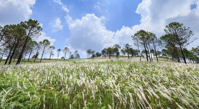 Bông cỏ lau phủ kín một màu trắng xóa cả một vùng trời
