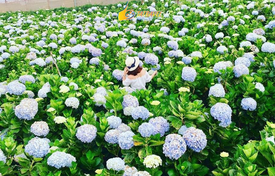 Vườn hoa Cẩm tú cầu - Đà Lạt tháng 7 với những sắc hoa