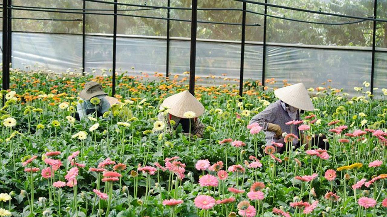 Các công nhân chăm sóc hoa ở Làng hoa Vạn Thành Đà Lạt