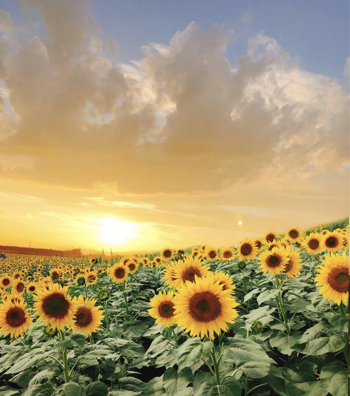 Cánh đồng hoa hướng dương mang một sắc vàng cả một bàu trời